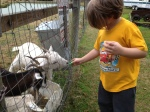 Feeding the goats!